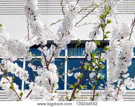 The White Cherry Blossom branchs in Tysons Corner near Washington DC 1 April 2010 USA