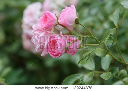Beauty Pink Rose flower in the garden