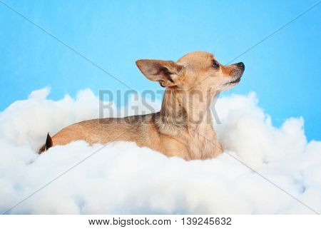 a cute chihuahua on some clouds in the studio over blue sky looking up