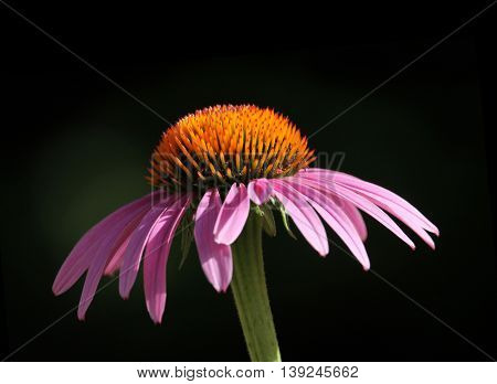 a pretty cone flower in the warm sun with a black background