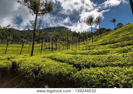Lush green tea plantations in Munnar, Kerala, India