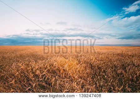 Rural Wheat Field. Yellow Barley Field In Summer. Agricultural Season, Harvest Time. Colorful Dramatic Sky At Sunset Sunrise.