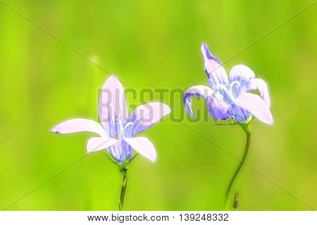 a pair of beautiful flowers of Campanula patula in the field