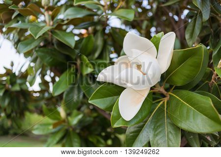 A large, creamy white southern magnolia flower blossom circled by the glossy green leaves of the tree