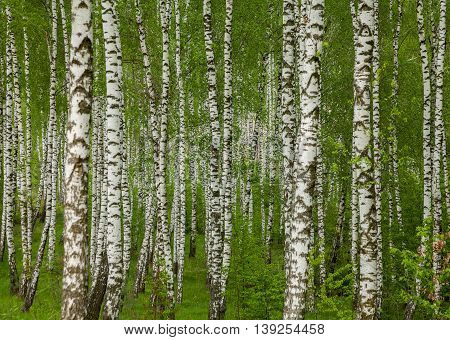 Birch grove with young leaves in the spring