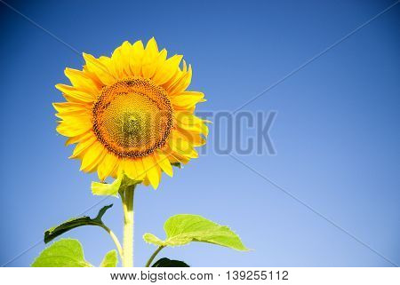 Sunflower growing on a farm field in the sun.