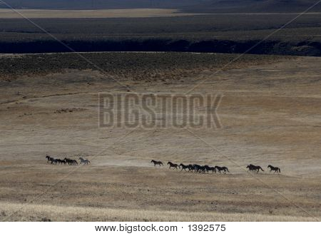 Wild Horse Herd Running Across The Praire