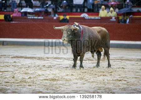 Jaen SPAIN - October 18 2008: Capture of the figure of a brave bull of hair brown color in a bullfight Spain