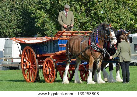 IPSWICH SUFFOLK UK 25 October 2014: East Anglia Equestrian Fair pair of shire horses and cart in ring