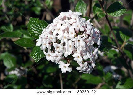 A Burkwood viburnum (Viburnum