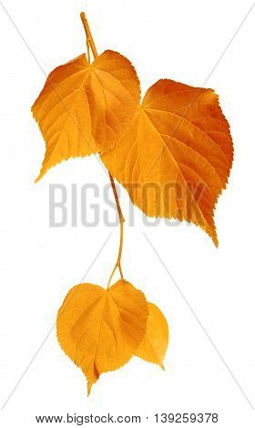 Yellowed leaves isolated on white background .