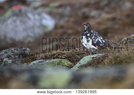 Male rock ptarmigan (Lagopus muta) in spring plumage.