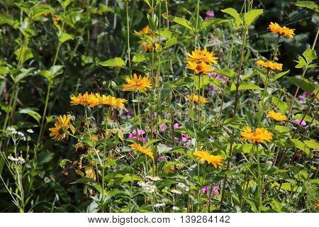 Jerusalem artichoke Flower or sunroot sunchoke earth apple topinambour