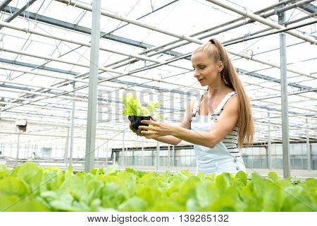 Young adult woman gardening in a greenhouse, checking herbs