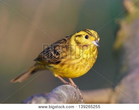 Closeup portrait of the Yellowhammer (Emberiza citrinella) with vegetation in the background