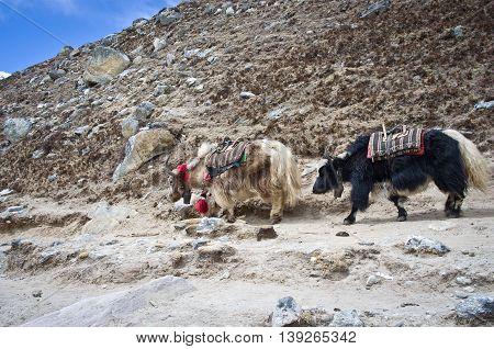 Yak On The Trail Near Everest Base Camp, Nepal