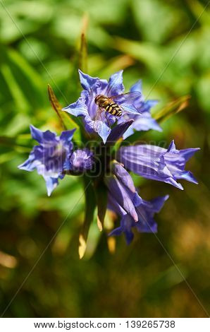 Violet mountain flower. Gentiana asclepiadea (willow gentian)