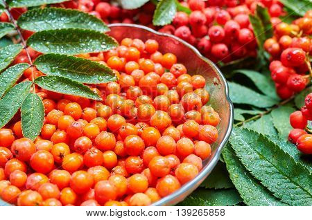 Ripe berry of mountain ash (Sorbus aucuparia)