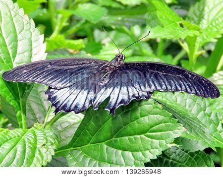 Great Mormon butterfly in garden of Niagara Falls Ontario 16 July 2016 Canada