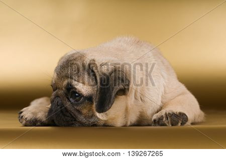 Pug lying with sad expression on golden background at studio