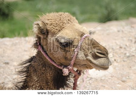 A jung Dromedary (Camelus dromedarius) in Morocco
