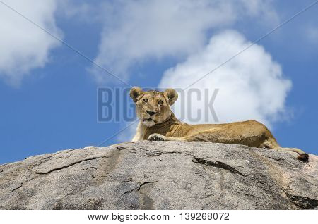 Female lion resting on the rock in Serengeti Tansania
