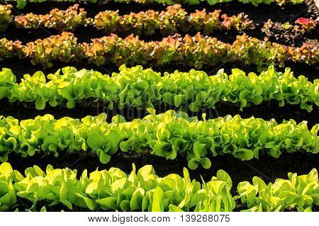 vegetable pot growing vertically in the agricultural farm. colorful, horizontal