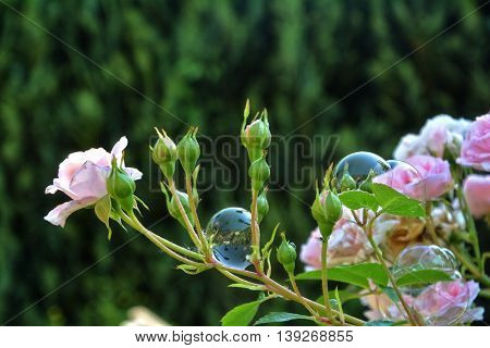 Soap bubble on pink rose petals in nature
