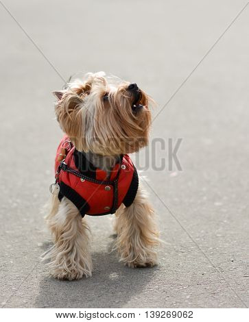 Yorkshire terrier Jake for a walk in a new dress.