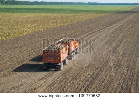 Orange truck with trailer with sugar beet goes on field at summer sunny day