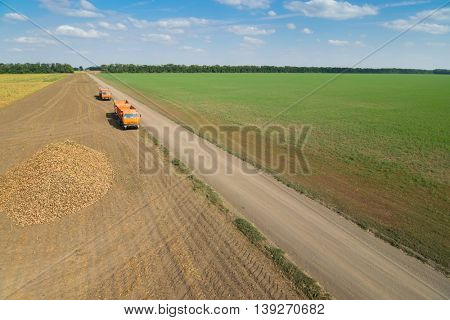Two orange trucks are near sugar beet heap on field at summer sunny day