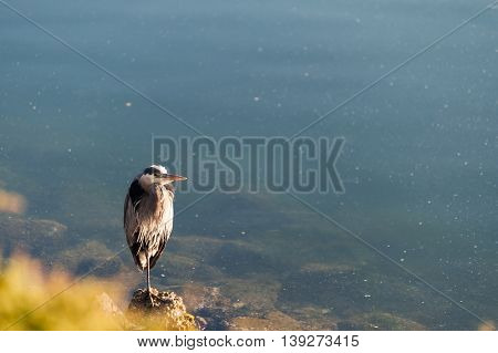 gray heron standing on rocks in the beach of Lighthouse Marine Park in Point Roberts with scenic view of ocean in background Washington state USA