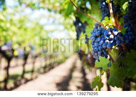 Blue grape on the tree in a farm in France