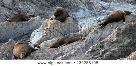 Arctocephalus forsteri, the New Zealand fur seal, southern fur seal or long-nosed fur seal at Cape Palliser, New Zealand