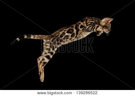 Jumping Bengal Kitty with wild fur Isolated Black Background, Side view