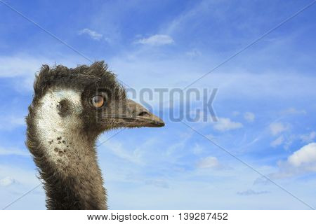 one emu head with sky in the background
