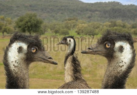 close up of head of three emues