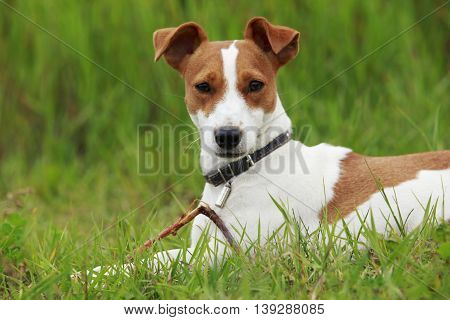 Jack Russell terrier dog is lying on a grass