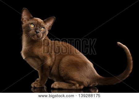 Little Burma Kitty Sitting and show his tail, Chocolate Fur, Isolated Black Background, Side view