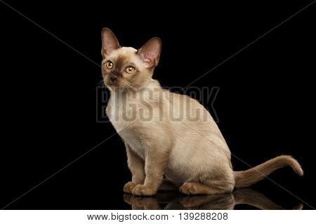Cute Burma Kitty Sitting and show his tail, Isolated Black Background, Side view