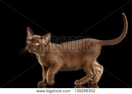 Hunting little Burma Kitty Walking and show his Chocolate Fur, Isolated Black Background, Side view