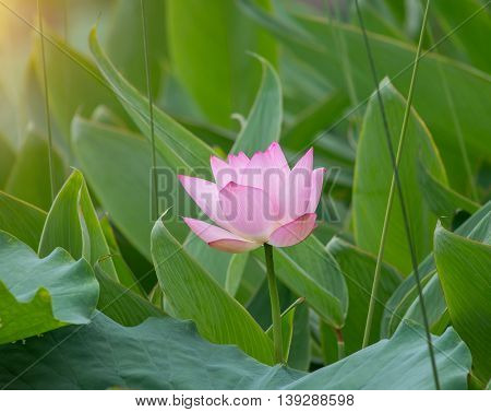 Lotus flower plants