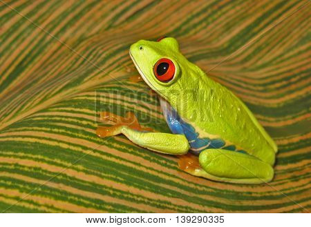 Red eye tree frog with bold, bright colors sitting on striped pattern leaf with yellow and green stripes.