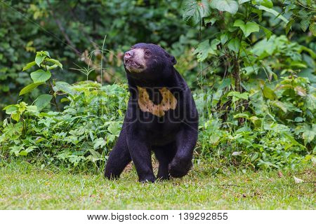 Malayan Sun Bear, Honey Bear (ursus Malayanus)