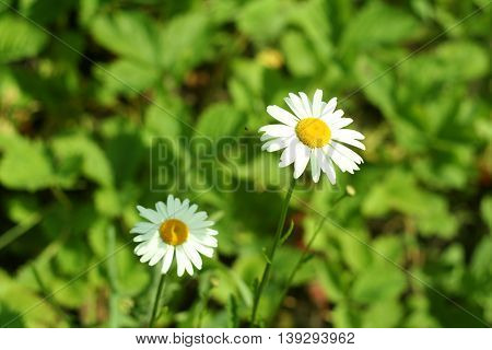 Flowering. Chamomile. Blurred Background