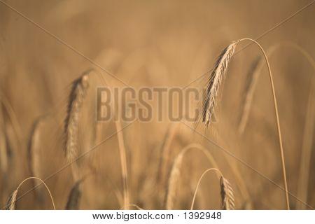 Corn Fleld