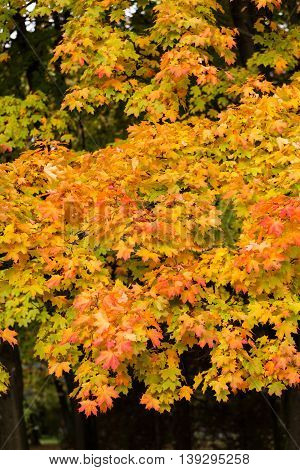 impression of lyellow eaves and autumn colors