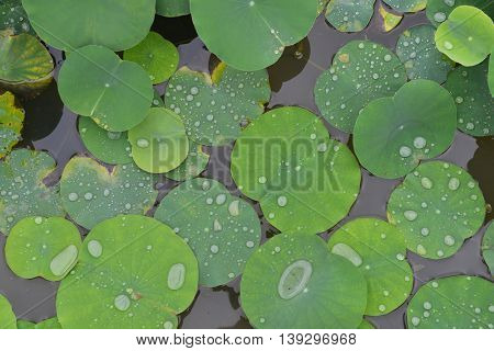 Texture with leaves of water lilies