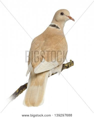 African Collared dove perched on his branch, isolated on white
