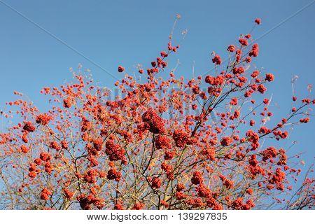 Autumn ripe rowan against the blue sky